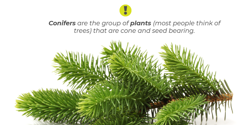 Conifers are the group of plants (most people think of trees) that are cone and seed bearing.