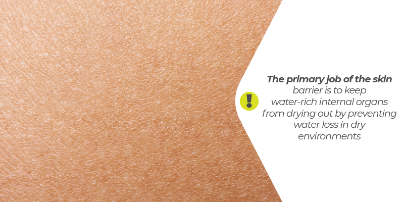 The primary job of the skin barrier is to keep water-rich internal organs from drying out by preventing water loss in dry environments