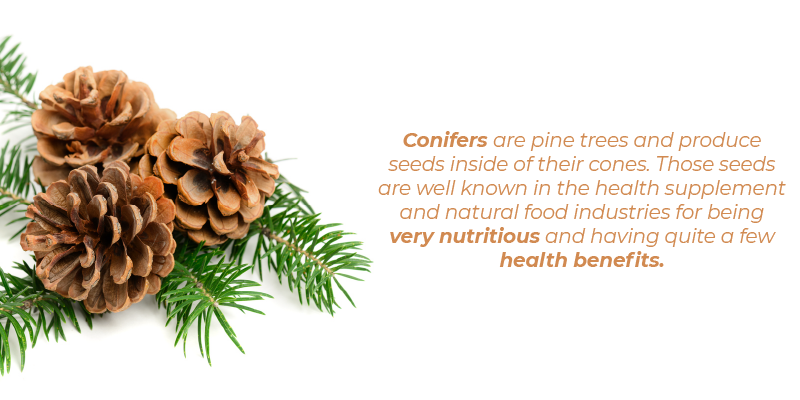 Conifers are pine trees and produce seeds inside of their cones. Those seeds are well known in the health supplement and natural food industries for being very nutritious and having quite a few health benefits.